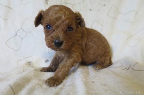 トイプードルの子犬(ID:1253411103)の3枚目の写真/更新日:2017-09-25