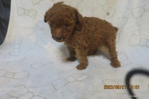 トイプードルの子犬(ID:1253411104)の2枚目の写真/更新日:2017-10-02
