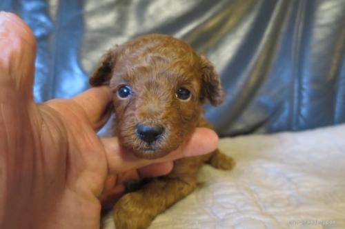 トイプードルの子犬(ID:1253411105)の1枚目の写真/更新日:2017-10-02