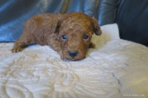 トイプードルの子犬(ID:1253411105)の2枚目の写真/更新日:2017-10-02