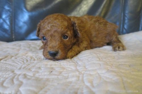 トイプードルの子犬(ID:1253411105)の3枚目の写真/更新日:2017-10-02