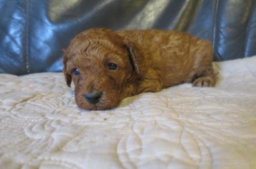 トイプードルの子犬(ID:1253411106)の2枚目の写真/更新日:2017-10-06