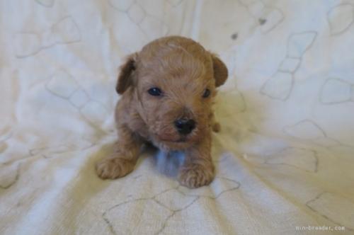 トイプードルの子犬(ID:1253411107)の1枚目の写真/更新日:2017-10-06