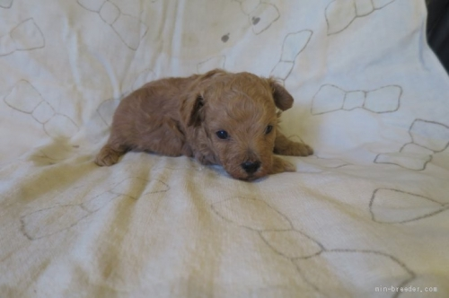トイプードルの子犬(ID:1253411107)の2枚目の写真/更新日:2017-10-06