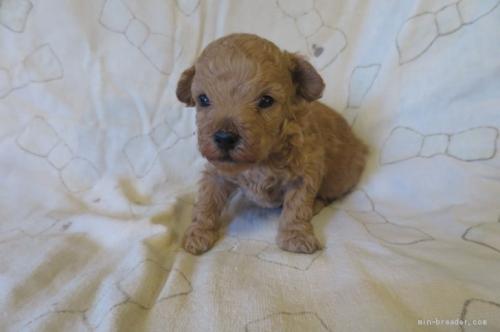 トイプードルの子犬(ID:1253411107)の3枚目の写真/更新日:2017-10-06