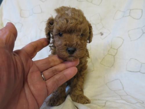 トイプードルの子犬(ID:1253411108)の1枚目の写真/更新日:2017-11-24