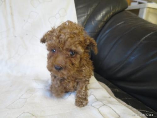 トイプードルの子犬(ID:1253411109)の1枚目の写真/更新日:2017-11-24