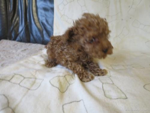 トイプードルの子犬(ID:1253411109)の2枚目の写真/更新日:2017-11-24