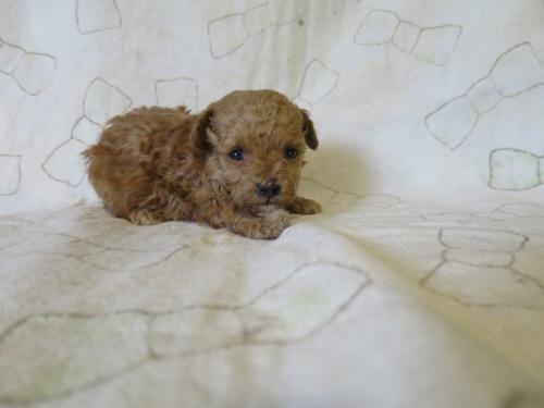 トイプードルの子犬(ID:1253411110)の3枚目の写真/更新日:2017-12-08
