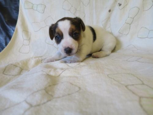 ジャックラッセルテリアの子犬(ID:1253411111)の1枚目の写真/更新日:2017-12-12