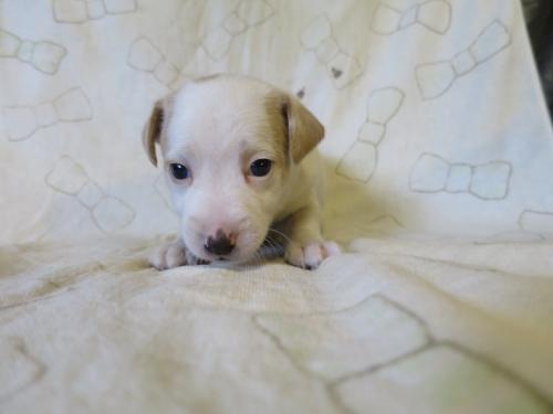 ジャックラッセルテリアの子犬(ID:1253411112)の1枚目の写真/更新日:2017-12-12