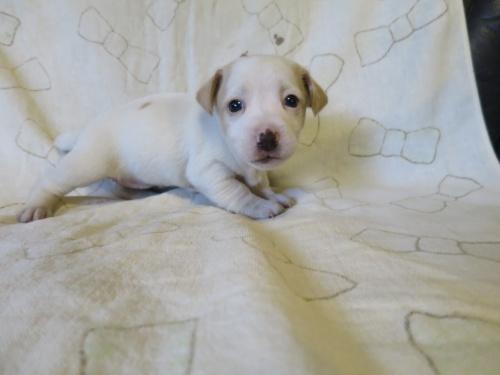ジャックラッセルテリアの子犬(ID:1253411112)の2枚目の写真/更新日:2017-12-12