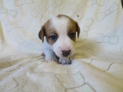 ジャックラッセルテリアの子犬(ID:1253411113)の1枚目の写真/更新日:2017-12-12