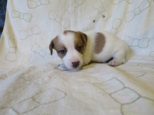 ジャックラッセルテリアの子犬(ID:1253411113)の2枚目の写真/更新日:2017-12-12
