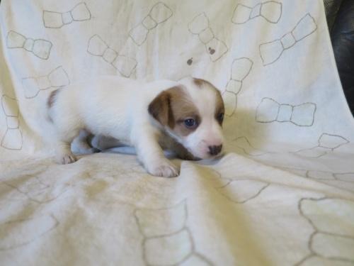ジャックラッセルテリアの子犬(ID:1253411113)の3枚目の写真/更新日:2017-12-12
