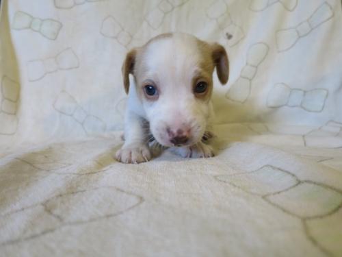 ジャックラッセルテリアの子犬(ID:1253411114)の1枚目の写真/更新日:2017-12-12