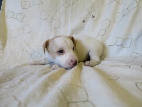 ジャックラッセルテリアの子犬(ID:1253411114)の2枚目の写真/更新日:2017-12-12
