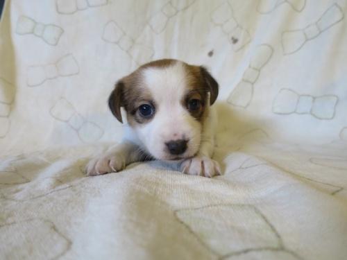 ジャックラッセルテリアの子犬(ID:1253411115)の1枚目の写真/更新日:2017-12-12