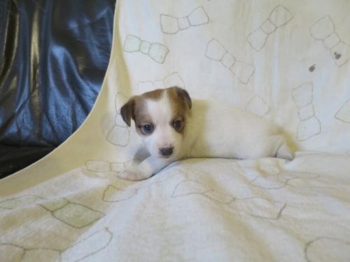 ジャックラッセルテリアの子犬(ID:1253411115)の2枚目の写真/更新日:2017-12-12
