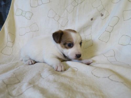 ジャックラッセルテリアの子犬(ID:1253411115)の3枚目の写真/更新日:2017-12-12
