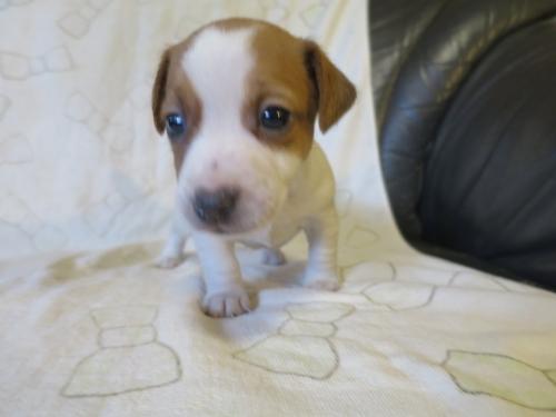 ジャックラッセルテリアの子犬(ID:1253411116)の1枚目の写真/更新日:2017-12-12
