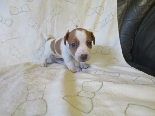 ジャックラッセルテリアの子犬(ID:1253411116)の2枚目の写真/更新日:2017-12-12