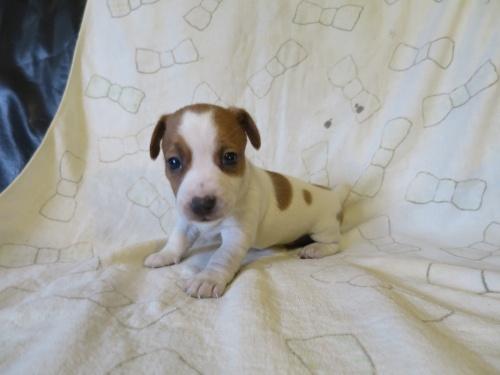 ジャックラッセルテリアの子犬(ID:1253411116)の3枚目の写真/更新日:2017-12-12