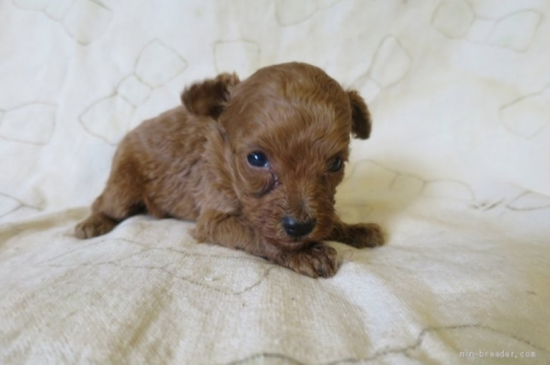 トイプードルの子犬(ID:1253411117)の2枚目の写真/更新日:2017-12-15