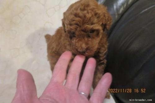 トイプードルの子犬(ID:1253411119)の3枚目の写真/更新日:2018-04-19