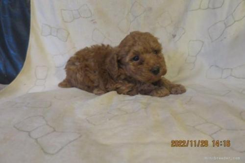 トイプードルの子犬(ID:1253411120)の2枚目の写真/更新日:2018-04-19