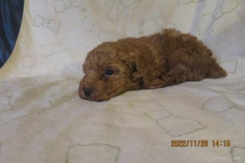 トイプードルの子犬(ID:1253411120)の3枚目の写真/更新日:2018-04-19