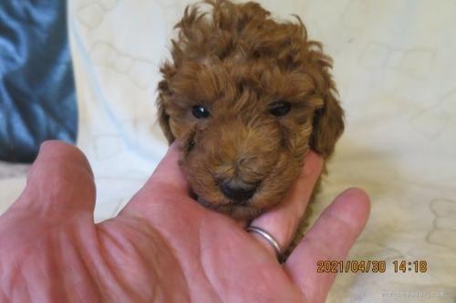 トイプードルの子犬(ID:1253411121)の1枚目の写真/更新日:2018-04-19