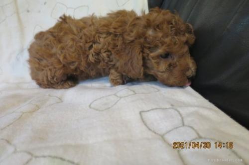 トイプードルの子犬(ID:1253411121)の2枚目の写真/更新日:2018-04-19
