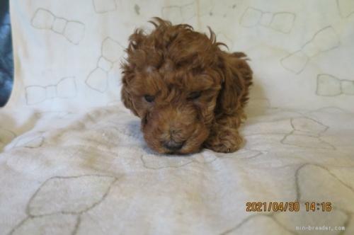 トイプードルの子犬(ID:1253411121)の3枚目の写真/更新日:2018-04-19
