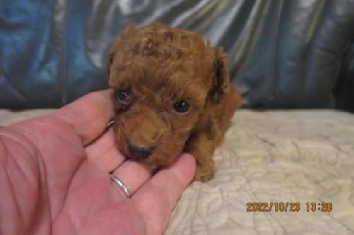 トイプードルの子犬(ID:1253411123)の2枚目の写真/更新日:2018-04-19