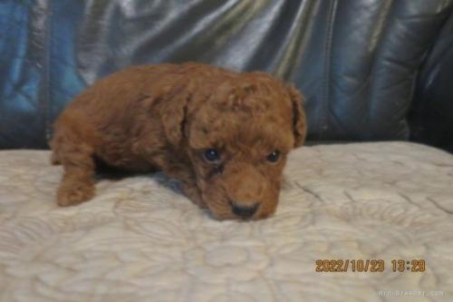 トイプードルの子犬(ID:1253411123)の3枚目の写真/更新日:2018-04-19