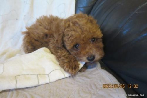 トイプードルの子犬(ID:1253411124)の2枚目の写真/更新日:2018-04-25