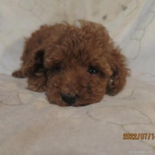 トイプードルの子犬(ID:1253411125)の1枚目の写真/更新日:2018-05-09