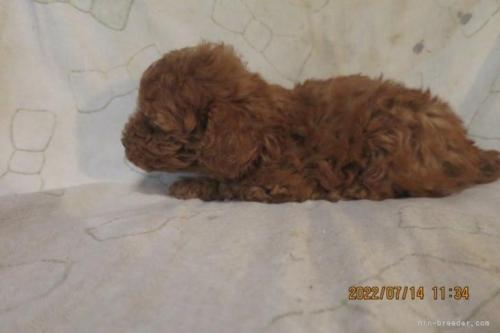 トイプードルの子犬(ID:1253411125)の3枚目の写真/更新日:2018-05-09