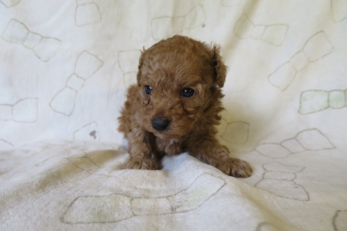 トイプードルの子犬(ID:1253411126)の1枚目の写真/更新日:2018-04-27