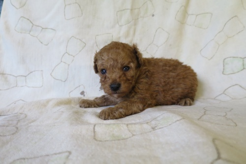 トイプードルの子犬(ID:1253411126)の2枚目の写真/更新日:2018-04-27