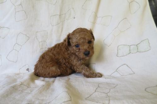 トイプードルの子犬(ID:1253411126)の3枚目の写真/更新日:2018-04-27