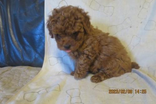 トイプードルの子犬(ID:1253411127)の2枚目の写真/更新日:2018-04-27