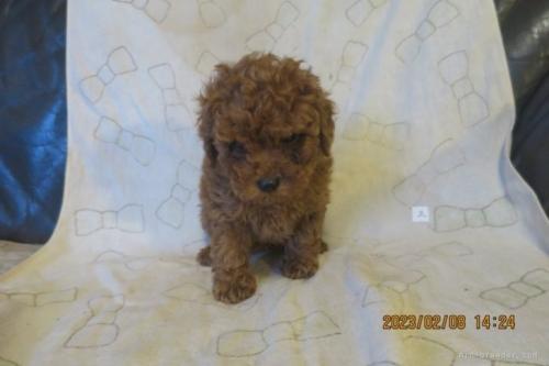トイプードルの子犬(ID:1253411127)の3枚目の写真/更新日:2018-04-27