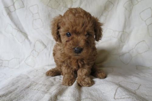 トイプードルの子犬(ID:1253411128)の1枚目の写真/更新日:2018-04-27