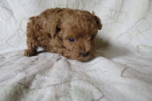 トイプードルの子犬(ID:1253411128)の2枚目の写真/更新日:2018-04-27