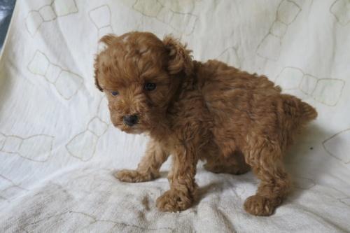 トイプードルの子犬(ID:1253411128)の3枚目の写真/更新日:2018-04-27