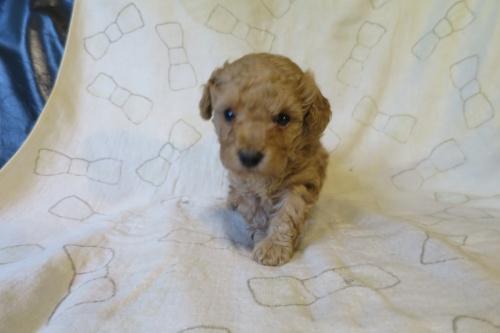トイプードルの子犬(ID:1253411129)の1枚目の写真/更新日:2018-05-04