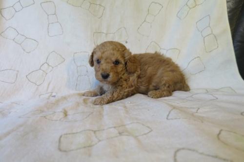 トイプードルの子犬(ID:1253411129)の2枚目の写真/更新日:2018-05-04