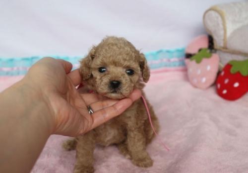 トイプードルの子犬(ID:1253511011)の1枚目の写真/更新日:2018-06-11